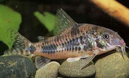 виды фото аквариумных сомов