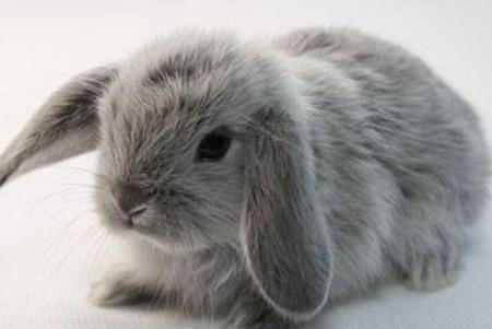 Расстройства пищеварения (вздутие живота, стаз, отравление) у домашних декоративных кроликов. Симптомы и лечение