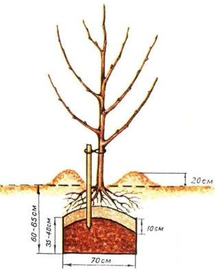 Как правильно посадить дерево (яблоня, груша, слива)