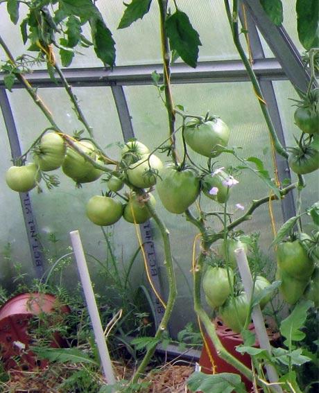пасынки на помидорах фото